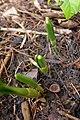 Galanthus lagodechianuis 01.jpg