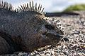 Galapagos Iguana 03.jpg