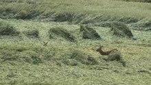 Datei:Galoppierende Rehe auf einem Feld.webm
