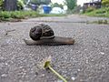 Garden snail crossing the sidewalk.jpg