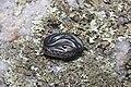 Garter snake, Buck Lake (28728655807).jpg