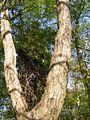 Gdansk drzewo 2.jpg