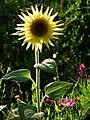 Gegenlichtaufnahme hellgelbe Sonnenblume.JPG