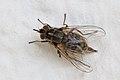 Gemeine Stechfliege Stomoxys calcitrans 0589.jpg