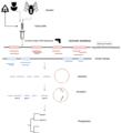 Genome skimming workflow.png