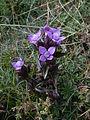 Gentiana campestris flowers2.jpg