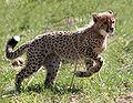 Gepardkilling3 (Acinonyx jubatus).jpg