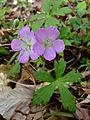 Geranium maculatum - Wild Geranium 2.jpg