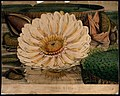 Giant water lily (Victoria amazonica); an expanded flower wi Wellcome V0044540.jpg