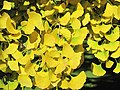 Ginkgo leaves (Vaires) 5.jpg