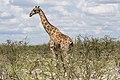 Giraff (Giraffa camelopardalis) -2351 - Flickr - Ragnhild & Neil Crawford.jpg