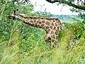 Giraffe (Giraffa camelopardalis) browsing ... (51118547959).jpg