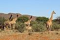 Giraffe (Giraffa camelopardalis) females.jpg