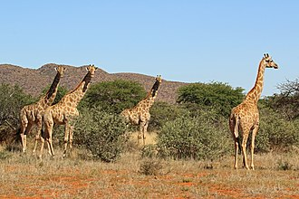 Gathering of female South African giraffes in Tswalu Kalahari Reserve, South Africa. These animals commonly gather in herds. Giraffe (Giraffa camelopardalis) females.jpg