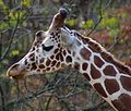 Giraffe by Bonnie Gruenberg.jpg
