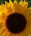 Girasol (Helianthus annuus) (14550714550).jpg