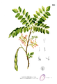 Gliricidia sepium Blanco2.250.png