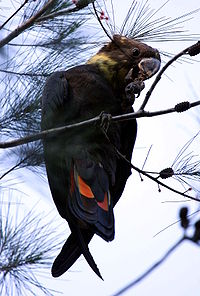 Glossy black cockatoo fem kobble08.JPG