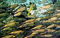 Gnathodentex aureolineatus 2.jpg