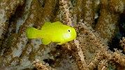 Gobiodon okinawae, Yellow clown goby, P1000220