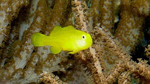 Gobiodon okinawae, Yellow clown goby, P1000220.jpg
