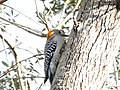 Golden-Fronted Woodpecker 0002.jpg