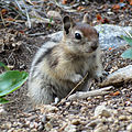 Golden-mantled Ground Squirrel (14881748598).jpg