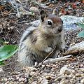 Golden-mantled Ground Squirrel (14881748598).jpg