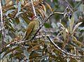 Golden-olive Woodpecker (24526097023).jpg