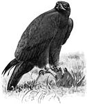 Golden Eagle (small illustration).jpg