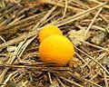 Golden Puffball.jpg