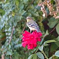 Goldfinch on a rose. (35101666344).jpg