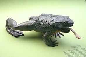 Goliathfrosch (Conraua goliath); Präparat/Modell im American Museum of Natural History