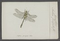 Gomphus - Print - Iconographia Zoologica - Special Collections University of Amsterdam - UBAINV0274 067 03 0015.tif