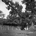 Gor. Vrhpolje, stara lipa in značilen plot 1952.jpg