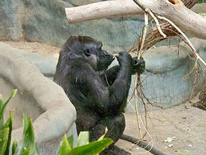 Milwaukee County Zoo - A foraging gorilla in the Sterns Building at the Milwaukee County Zoo.