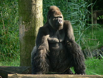 Minkébé National Park - The western lowland gorilla in the park has been listed in the IUCN Red List