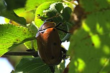 Grapevine Beetle (Pelidnota punctata), Shirleys Bay.jpg