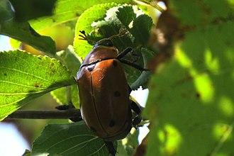 Grapevine beetle - Image: Grapevine Beetle (Pelidnota punctata), Shirleys Bay