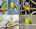 Grass parrots - ببغاوات الأعشاب.jpg