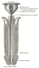 la próstata femenina Wikipedia