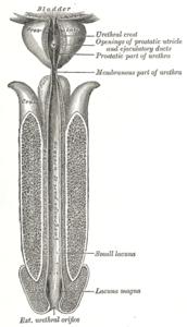 medicina della prostatite corona new york