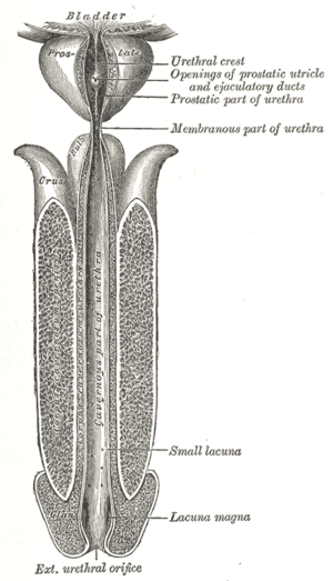 Urethral crest - The male urethra laid open on its anterior (upper) surface. (Urethral crest labeled at upper right.)