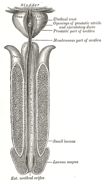 External sphincter muscle of male urethra - Wikipedia