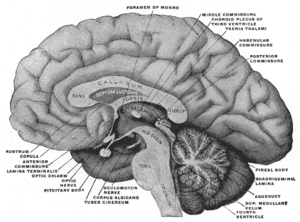 Mesal aspect of a brain sectioned in the media...
