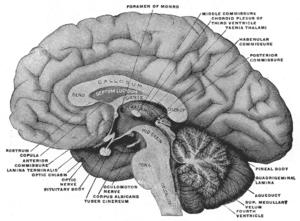 Serotonin - Image: Gray 715