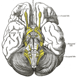 Middle cerebral veins - Image: Gray 724