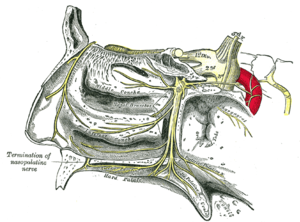 Pterygopalatine ganglion - The pterygopalatine ganglion and its branches (pterygopalatine ganglion visible but not labeled, as large yellow ganglion in upper-right center)
