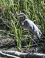 Great Blue Heron (Ardea herodias) (6073653697).jpg