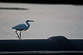 Great Egret - ECR, Chennai.jpg